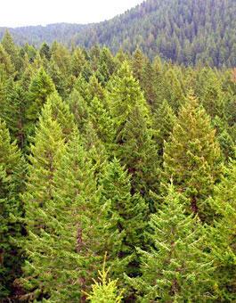 Tree Guide | OregonForests