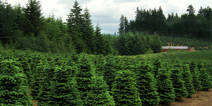 why do we have christmas trees in our houses oregonforests