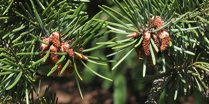 Tree Pollen – Nothing to Sneeze At | OregonForests