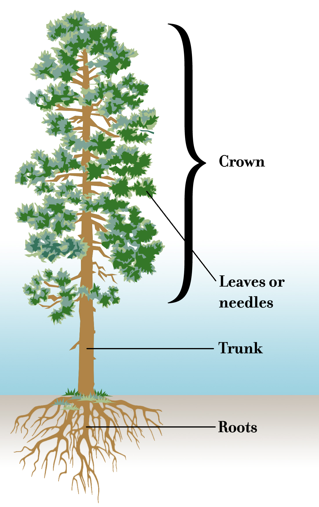 Diagram of a tree labeling its parts
