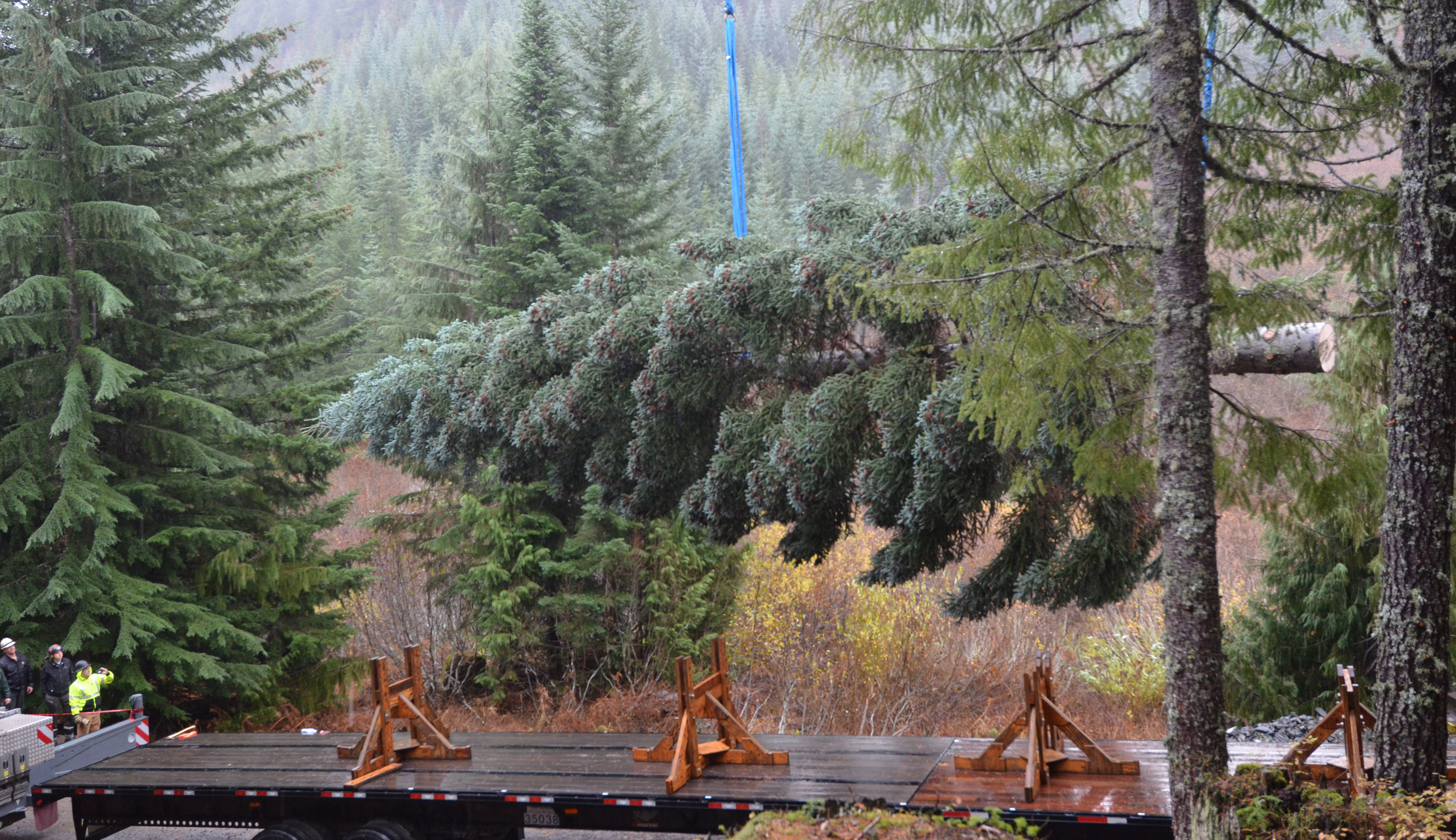 The Capitol tree is lowered onto a flatbed truck